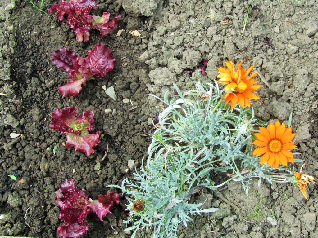 Chard and Marigolds